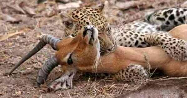Yemek için yakaladığı impalanın hamile olduğunu anlayan çıtadan inanılmaz tepki