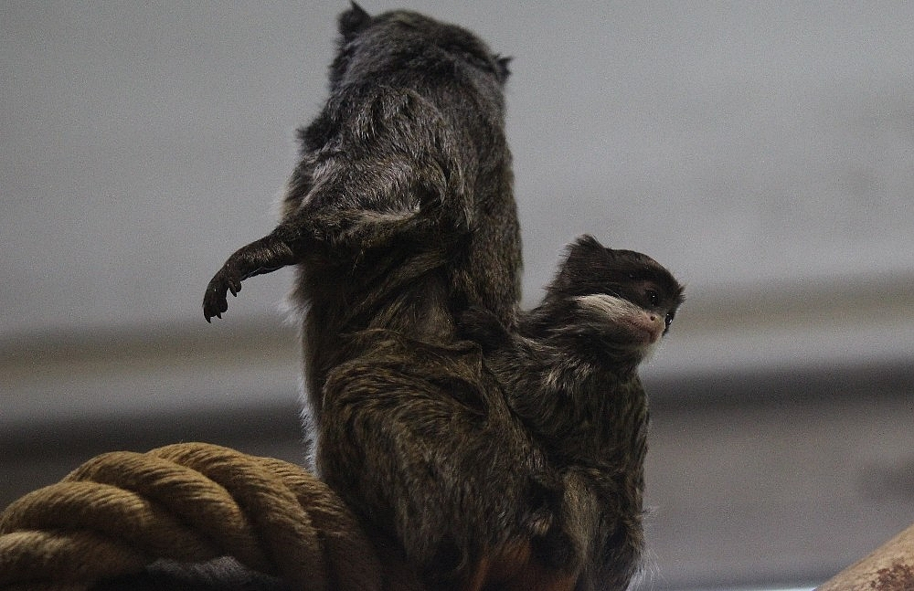 2019/04/sakalli-maymunlarin-ikinci-yavru-heyecani---bursa-haberleri-20190422AW68-1.jpg