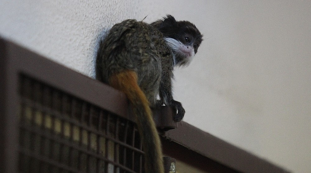 2019/04/sakalli-maymunlarin-ikinci-yavru-heyecani---bursa-haberleri-20190422AW68-2.jpg