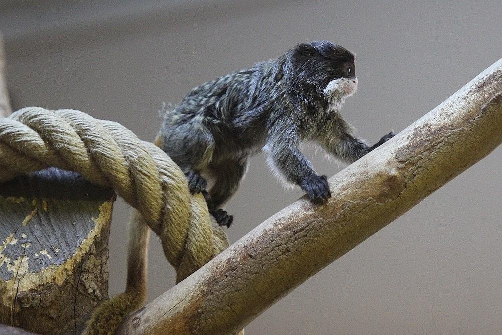 2019/04/sakalli-maymunlarin-ikinci-yavru-heyecani---bursa-haberleri-20190422AW68-3.jpg