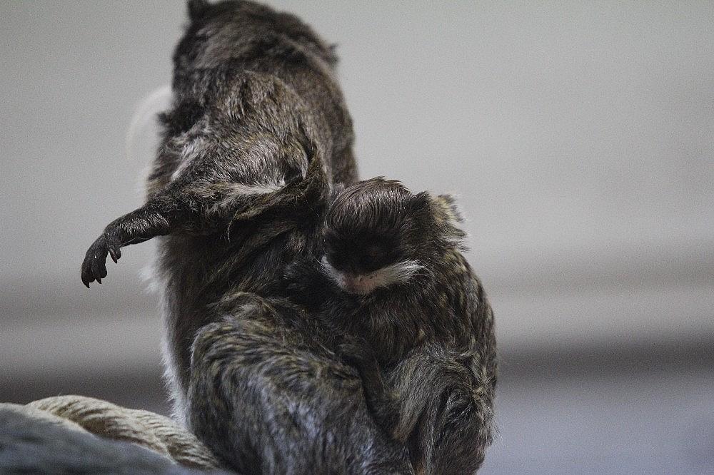 2019/04/sakalli-maymunlarin-ikinci-yavru-heyecani---bursa-haberleri-20190422AW68-5.jpg