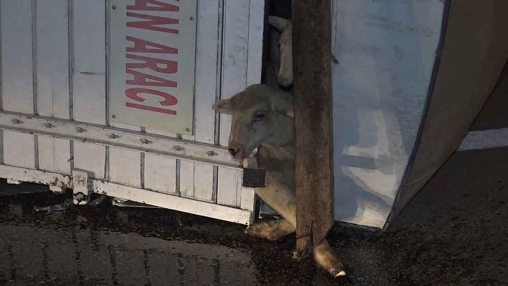 2019/11/koyunlari-tasiyan-kamyon-devrildi-8-kuzu-telef-oldu---bursa-haberleri-20191107AW84-1.jpg