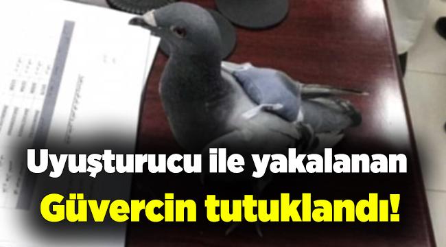 Ecstasy hapıyla yakalanan güvercin, tutuklandı.