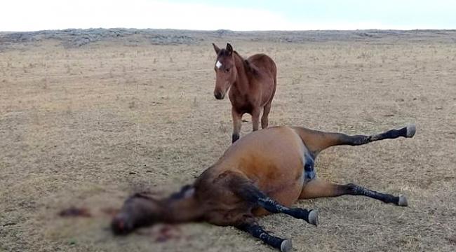 Gözü dönmüş hırsız caniler Kars'ta atı yavrusunun önünde vurdular!