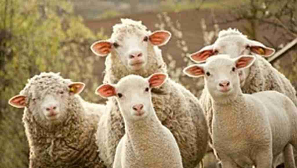 Bakan Fakıbaba, 300 koyunun nasıl verileceğini açıkladı
