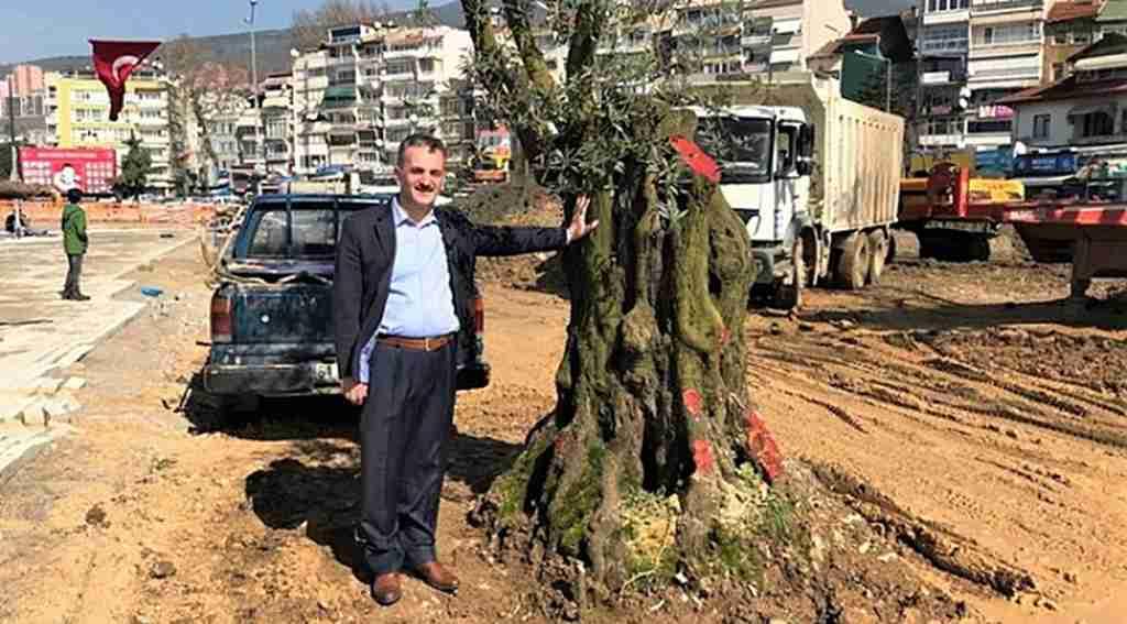 6 asırlık zeytin ağacı nakledildi - Bursa Haberleri
