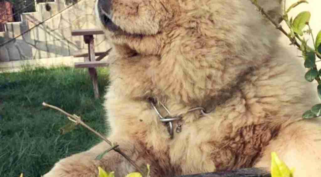Bursa'da köpek hırsızlığı! Herkül'ü Önce Sevip Sonra Çaldılar - Bursa Haberleri