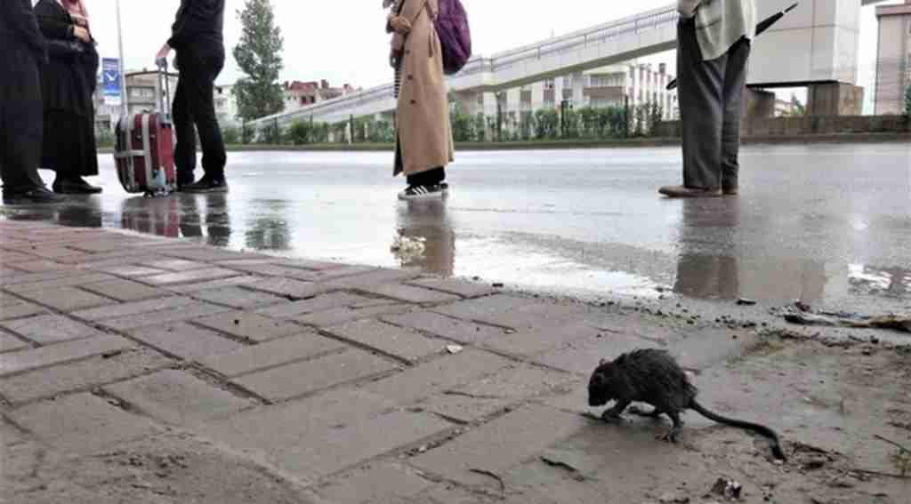Yağmurdan ıslanan fare otobüs durağına sığındı - Bursa Haberleri