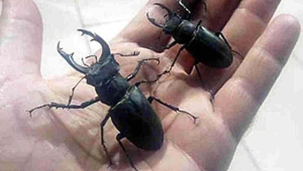 Koruma altındaki geyik böceği satışına ağır ceza