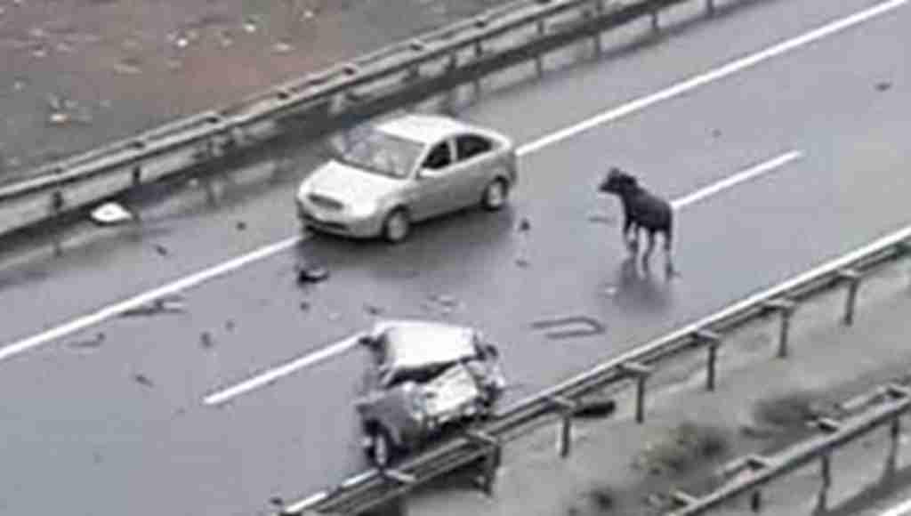 Kurbanlık trafiği karıştırdı! Yaralılar var