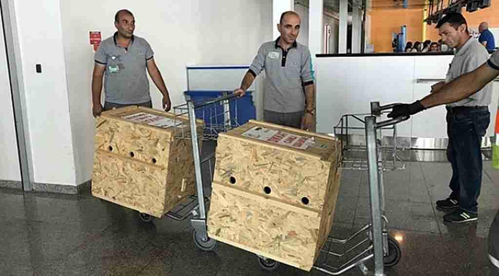 Tedavileri tamamlanan yavru ayılar uçakla Bursa'ya gönderildi - Bursa Haberleri
