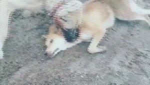 Köpeğe bunu yapıp videoya çekmişti, Gözaltına alındı