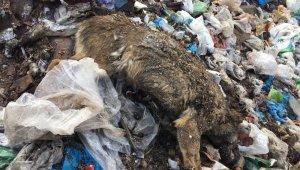 Yürekleri sızlatan vahşet! Çöplükte kulakları kesik çok sayıda ölü köpek bulundu