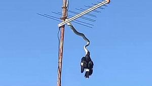 3 metrelik piton, kuşu havada yakaladı