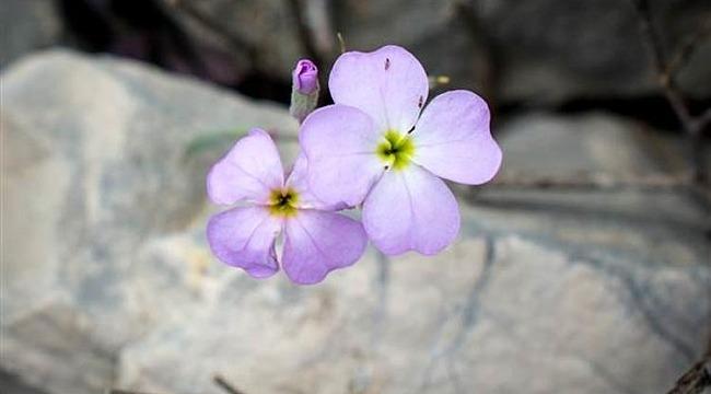Alakır'da yeni bitki türü keşfedildi