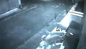 Gece yarısı saldıran köpekler, dakikalar içinde paramparça etti