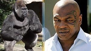 Mike Tyson'dan gorille dövüşme itirafı