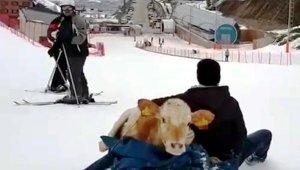 İçi ısıtan manzara... Hasta buzağıyı kızakla taşıdı