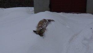 Kars'ın soğuğu tilki dondurdu