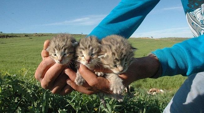 Diyarbakır'da leopar şaşkınlığı