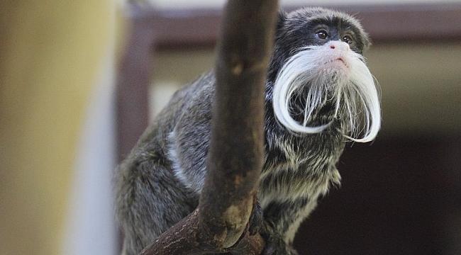 Sakallı maymunların ikinci yavru heyecanı - Bursa Haberleri