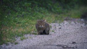 Yaban kedisi Bursa'da görüntülendi - Bursa Haberleri