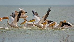 Ak pelikanların muhteşem dansı - Bursa Haberleri