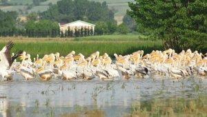 Baraja gelen yüzlerce pelikan ilgi odağı oldu - Bursa Haberleri