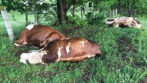 Besi çiftliğine yıldırım düştü: 4 hayvan telef oldu - Bursa Haberleri