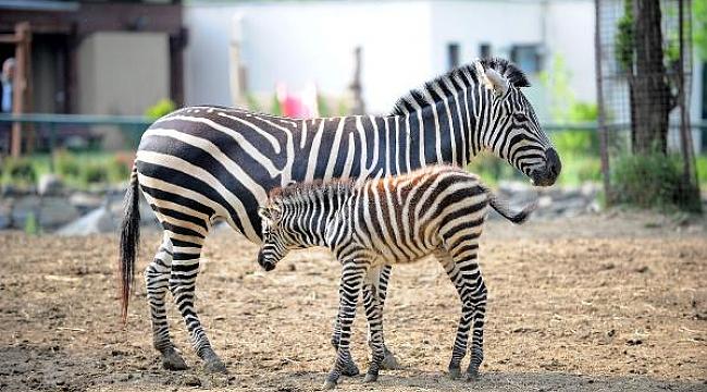 BURSA Hayvanat Bahçesi'nde zebra ailesine 3 yeni üye - Bursa Haberleri