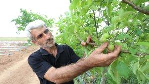 Bursa'da meyve ağaçlarında don zararı - Bursa Haberleri
