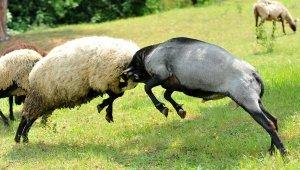 Gazeticiliği bıraktı, çoklu doğum yapan koyun yetiştiriyor - Bursa Haberleri