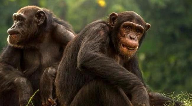 Korkunç iddia... Bazı zenginler düğünlerde şempanze eti yiyor