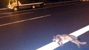 TEM'de, aracın çarptığı vaşak öldü
