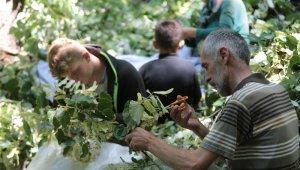 Türkiye'nin en büyük ıhlamur ormanlarında hasat başladı - Bursa Haberleri