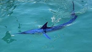 Dünyanın en hızlı canlısı olarak bilinen mavi yelken balığı Antalya'da görüntülendi