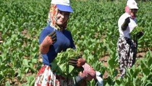 İnegöl'de tütün hasadı başladı - Bursa Haberleri