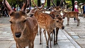 Kutsal sayılan geyikler, poşet yedikleri için öldü