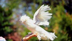 Milli ırk Osmanlı Sultan tavukları hobicilerin gözdesi - Bursa Haberleri
