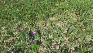Mısır tarlasına kurumaya bırakılmış kenevir ve kubar maddeleri drone ile tespit edildi - Bursa Haberleri