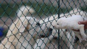 Akbaş köpeklerin yavrularıyla duygusal buluşması - Bursa Haberleri