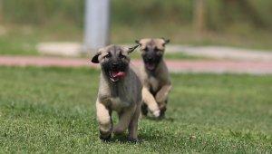 Bu köpekler kapış kapış...Dünyaya gelmeden satılıyor - Bursa Haberleri