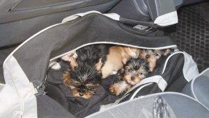 Kapıkule'de yolcunun çantasından 11 köpek yavrusu çıktı