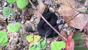 Nadir bulunan zehirli baran engerek yılanı görüntülendi