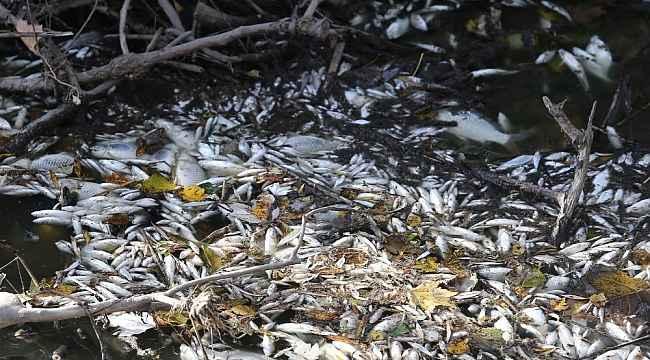 Bursa'da yine çevre felaketi... Manyas'tan doğan Kara Dere'de binlerce balık öldü - Bursa Haberleri
