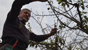 Erik ağacı çiçek açtı, sonra meyve verdi - Bursa Haberleri