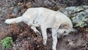 Hayvan hırsızları çoban köpeklerini zehirledi