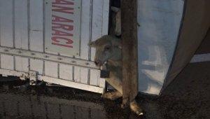 Koyunları taşıyan kamyon devrildi: 8 kuzu telef oldu - Bursa Haberleri