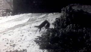 Aç kurtlar köye inip köpeğe saldırdılar, eve sığınarak hayatta kaldı