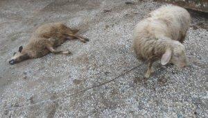 Kurtların saldırdığı 3 koyun telef oldu
